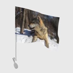Волк лежит на снегу